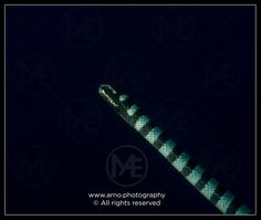 Black and white sea krait  © Arno Enzerink / www.stockphotography.nu. All rights reserved.