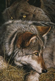 Lost our Wolf Cheyenne after 12 years. 4 days before Christmas She went to Heaven and is howling with her pack A part of our soul went with her . she will be deeply missed. Until we meet again,. Wolf Love, Wolf Quotes, Animal Quotes, Animal Facts, Wolf Pictures, Animal Pictures, Wolf Images, Beautiful Creatures, Animals Beautiful