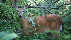 Sweet female Whitetail Deer grazing in the summer yard.  #nwf #nationalwildlifefederation #BackyardHabitat #WhitetailDeer #deer #nature #wildlife #naturephotography #wildlifephotography