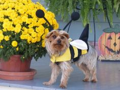 Rufus buzzing around town getting ready for the trick or treaters. Pet Halloween Costumes, Pet Costumes, Daily Record, Costume Contest, Your Pet, Pets, Animals, Animales, Animaux