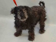 SAFE❤️❤️ 5/17/17 SUPER URGENT 05/16/2017 Manhattan Center OSCARIN – A1112129 NEUTERED MALE, BLACK, POODLE MIN MIX, 10 yrs STRAY – STRAY WAIT, NO HOLD Reason STRAY Intake condition GERIATRIC Intake Date 05/15/2017, From NY 10016, DueOut Date 05/18/2017,