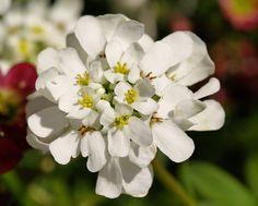 A flowering Iberis in my garden (candytuft). | Flickr - Photo Sharing!