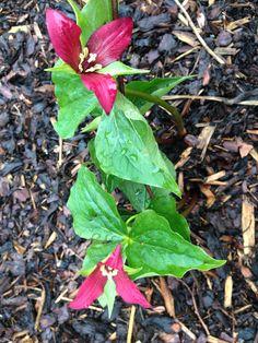 Trillium i vår trädgård, nu är det vår!