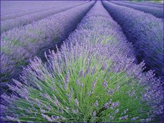 Is there anything quite like the site and smell of lavender? For some reason it always makes me think of my Mom @Kate Buss.ca