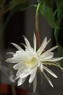 This is Epiphyllum Oxypetalum DC Haw. Otherwise known as the orchid cactus. It blooms in my garden at the end of July for one night only, then the bloom is finished for the year. It is sometimes referred to as a Night Blooming Cereus, however, this is a false term. It is not in the Cereus family.