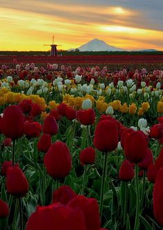 Incredible morning at the Wooden Shoe Tulip Farm in Woodburn, Oregon
