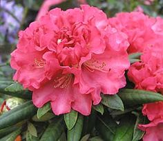 Rhododendron 'Rosalie Hall'