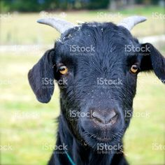 Portrait of a goat. Goat Milk, Image Now, Goats, Cow, Royalty Free Stock Photos, Portraits, Animals, Animales, Animaux