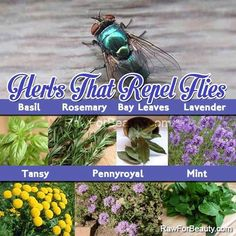Herbs that help to repel flies. I'm going with basil. I absolutely love basil. I had no idea it repelled flies. Herb Garden, Garden Plants, Indoor Plants, House Plants, Plants That Repel Flies, Insect Repellent Plants, Raw For Beauty, Fly Repellant, Plant Information
