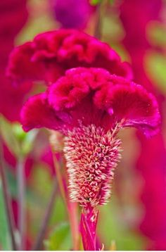 In season in June: Cockscomb (Celosia cristata); Celosia is a small genus of edible and ornamental plants in the amaranth family, Amaranthaceae. Known as woolflowers, or, if the flower heads are crested by fasciation, cockscombs. Vary in colour from yellow, orange, pink and red