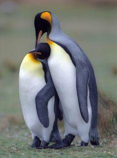 Port Stanley Falkland Islands Penguins | Stanley, Falkland Islands