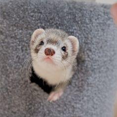 I make a pretty adorable ferret, if I do say so myself.