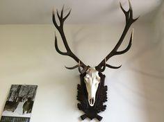This stag ruined during the rutting season.  / Bőgéskor elhullott bika, 3 szúrásnyom volt rajta. Ezüstérmes lett.  Kár érte.