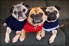 Puggy Sweater Goodness #swagger