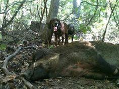 Hog dogging