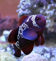 Summary: Many people are delighted by keeping live and colorful tropical fish at their home. Countless species of fish are kept at home as pets. There are several Tropical fish online stores that sell tropical fish online. Pretty Fish, Beautiful Fish, Gorgeous Gorgeous, Cute Fish, Beautiful Pictures, Underwater Creatures, Ocean Creatures, Underwater Life, Cool Sea Creatures