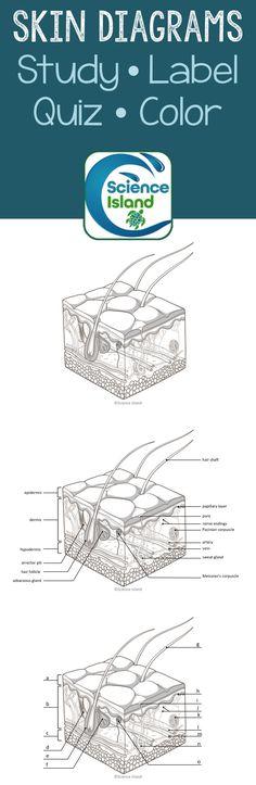 Heart anatomy diagrams heart diagram diagram and heart anatomy skin diagrams and quiz ccuart Images