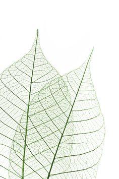 Digitally Printed Glass Splashback with image of skeleton leaves