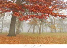 ערפל סתווי 1עצים, יער, גזעים, נוף, שלכת, עלים , חורשה , כתום , שדה , פרחים
