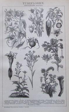 1895 TUBIFLOREN BOTANIK Original Alter Druck Antique Print Lithographie Pflanzen | eBay