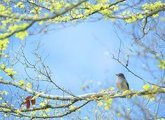 #690 黃腹春萌 Spring is Here ! by John&Fish, via Flickr