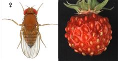Wild strawberry discovered that inhibits the development of the spotted-wing Drosophila fly
