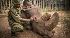 After Last Male's Death, Is the Northern White Rhino Doomed? | National Geographic - National Geographic