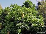 corynocarpus laevigatus - Google Search Google Search, Plants, Plant, Planets