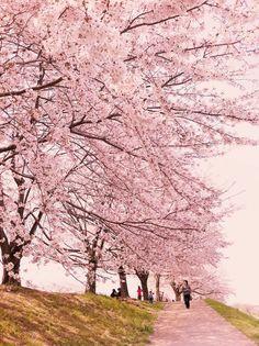 Sakura road, Japan love those cherry blossoms