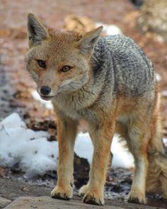 "132 Me gusta, 7 comentarios - Nataly Seguel (@natalyseguel) en Instagram: ""Hola humanos 🦊. . . #zorro #zorroculpeo #faunachilena #fauna #fox #animals #wild #wildlife…"" Wilde Life, Fox, Earth, American, Instagram, Foxes, Toys, Messages, Illustrations"