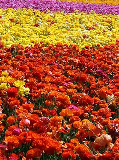 A Zillion Flowers • The Flower Fields, Carlsbad, California - the rununculus fields here are stunning - they bloom in the winter, which reminds you even more of why you like California.