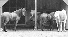 Four Horses Patiently Waiting For The Rain To Stop And The Sun To Shine Again by Hilde Widerberg Four Horses, She Left Me, Patiently Waiting, My Horse, Rain, Wall Art, Prints, Poster, Pictures