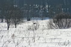 Metskitsed www.minest.ee/loodusblogi loomad loodus loodusblogi