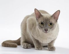 Tortoiseshell Tabby, Tonkinese Cat, Cat Breeds, Cute Cats, Blue Grey, Pictures, Animales, Photos, Cat