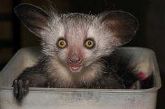 animal wildlife aye aye the aye aye is a subspecies of lemur found on ...