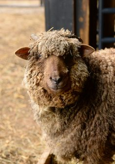 When I went out at noon yesterday to check for frozen water in Del Boca Vista (no heated water out there :-/) everyone was so cute napping . Farm Animals, Funny Animals, Cute Animals, Sheep Art, Sheep Wool, Suffolk Sheep, Primitive Sheep, Baa Baa Black Sheep, Counting Sheep