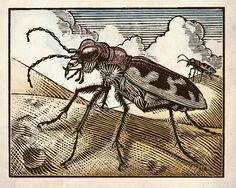 Big Sand Tiger Beetle Woodcut (color mock-up) | Flickr - Photo Sharing!  Thomas Shahan Art