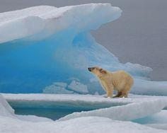 Polar Bear just outside of Resolute Bay, Nunavut. photo by Ballygrant Boy Love Bear, Big Bear, Beautiful Creatures, Animals Beautiful, Polar Bear Drawing, Animals And Pets, Cute Animals, Belle Photo, Animal Photography