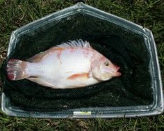 How To Raise Tilapia In The Backyard - http://www.ecosnippets.com/livestock-animals/how-to-raise-tilapia-in-the-backyard/