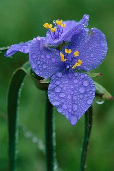 Ohio Spiderwort by Michael Forsberg