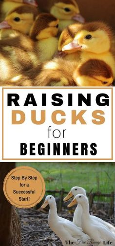 If you love raising chickens, you'll love raising ducks! Learn everything you need to get started in this Beginner's Guide to Raising Ducks! homesteading for beginners Backyard Ducks, Backyard Farming, Chickens Backyard, Backyard Coop, Backyard Ideas, Pet Ducks, Baby Ducks, Raising Ducks, Raising Chickens