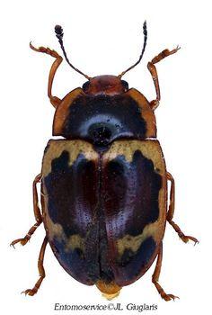 Iphiclus(Brachymerus) nitidulus