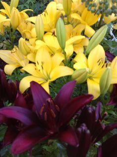 Lykkelig felleskap med svart lilje