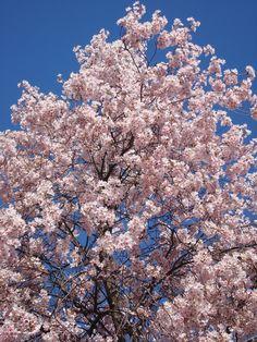 Victoria, BC, Canada. Cherry Blossoms