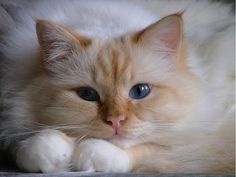 This is a Ragdoll Cat comes in different colors and unique patterns. Beautiful Cats and Kittens. Cute Cats And Kittens, I Love Cats, Crazy Cats, Kittens Cutest, Pretty Cats, Beautiful Cats, Animals Beautiful, Cute Animals, Pretty Kitty