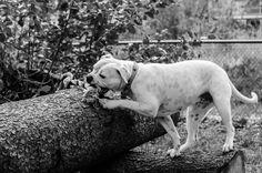 My American Bulldog