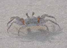 Found this small crab running round on the beautiful beach at St. Joseph State Park, Cape San Blas, Florida.   Go to www.YourTravelVideos.com or just click on photo for home videos and much more on sites like this.