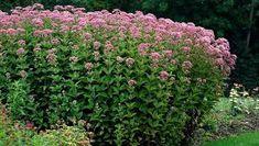 Image result for Eutrochium maculatum 'Purple Bush