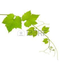 Branche de vigne isol sur fond blanc Banque d'images