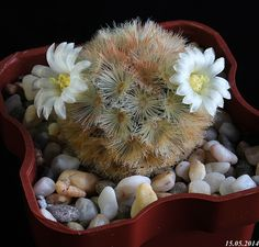 Цветущая Дача > Кактусы цветут